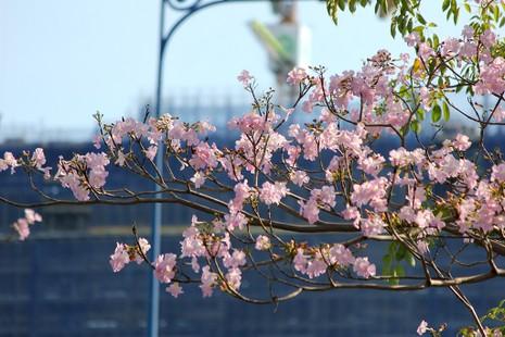 Ngất ngây với hoa kèn bên hầm Thủ Thiêm - ảnh 8