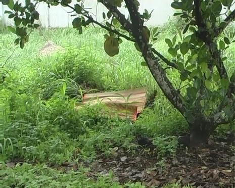 Vườn mít nơi phát hiện ra xác của nạn nhân