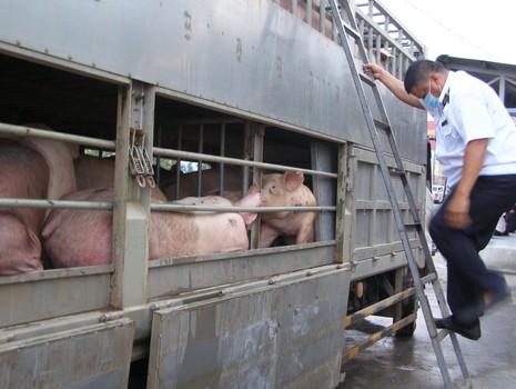 Xe chở thịt đi đường cao tốc để né kiểm tra - ảnh 1