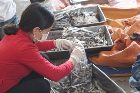Sẽ tiêu hủy 70 tấn cá tồn kho sau sự cố do Formosa - ảnh 1