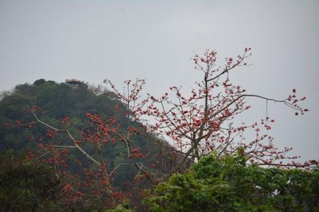 Ngắm hoa gạo đỏ rực trong rừng Cúc Phương - ảnh 1