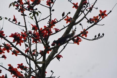 Ngắm hoa gạo đỏ rực trong rừng Cúc Phương - ảnh 12