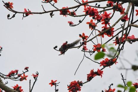 Ngắm hoa gạo đỏ rực trong rừng Cúc Phương - ảnh 13