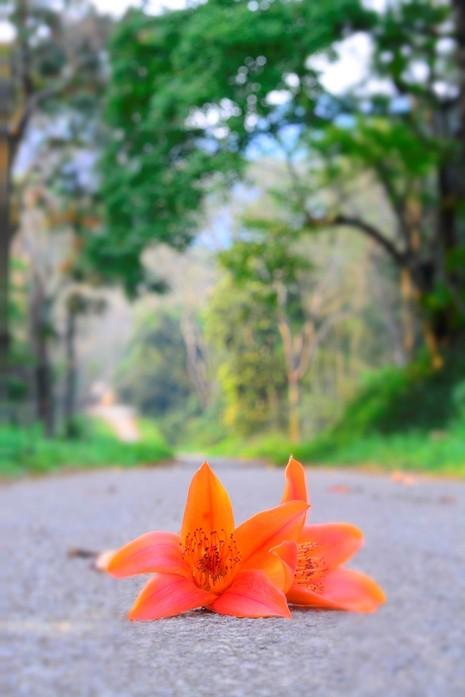 Ngắm hoa gạo đỏ rực trong rừng Cúc Phương - ảnh 4