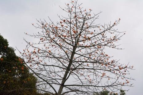 Ngắm hoa gạo đỏ rực trong rừng Cúc Phương - ảnh 6