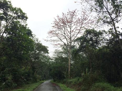 Ngắm hoa gạo đỏ rực trong rừng Cúc Phương - ảnh 9