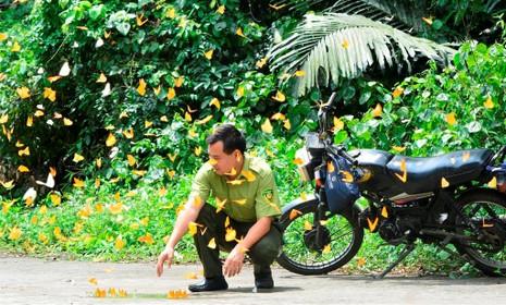 Vào rừng Cúc Phương ngắm bướm bay rợp trời - ảnh 9