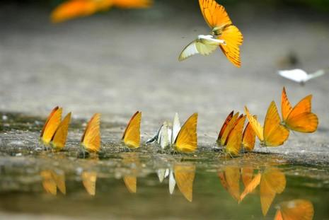 Vào rừng Cúc Phương ngắm bướm bay rợp trời - ảnh 2