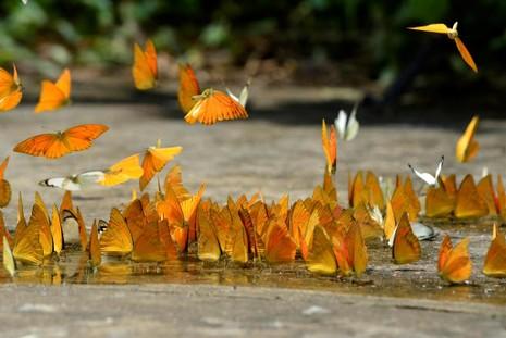 Vào rừng Cúc Phương ngắm bướm bay rợp trời - ảnh 3
