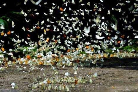 Vào rừng Cúc Phương ngắm bướm bay rợp trời - ảnh 22