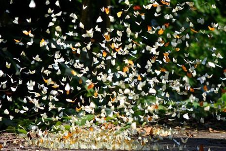 Vào rừng Cúc Phương ngắm bướm bay rợp trời - ảnh 4