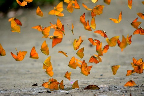 Vào rừng Cúc Phương ngắm bướm bay rợp trời - ảnh 5