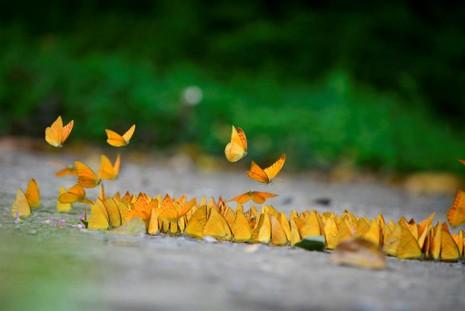 Vào rừng Cúc Phương ngắm bướm bay rợp trời - ảnh 6