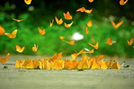 Vào rừng Cúc Phương ngắm bướm bay rợp trời - ảnh 10