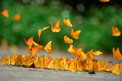 Vào rừng Cúc Phương ngắm bướm bay rợp trời - ảnh 11