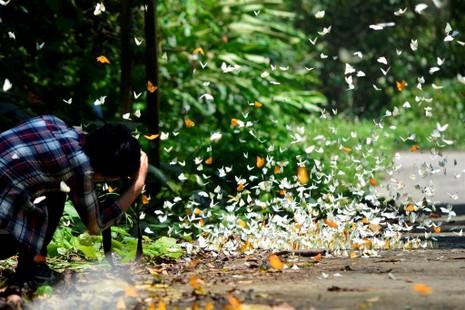 Vào rừng Cúc Phương ngắm bướm bay rợp trời - ảnh 14
