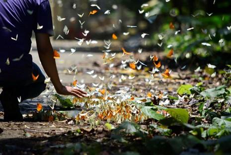 Vào rừng Cúc Phương ngắm bướm bay rợp trời - ảnh 15