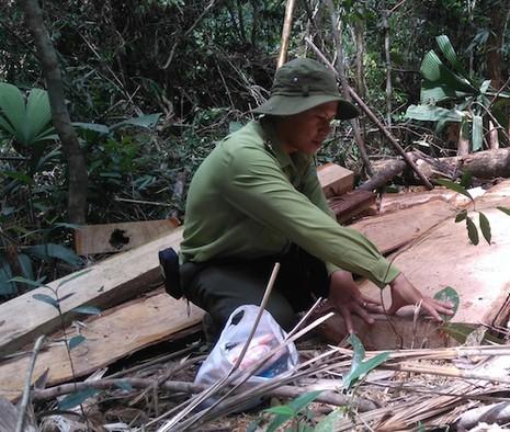 Lực lượng chức năng liên tục phát hiện gỗ pơ mu bị chặt phá tại Quảng Nam. Ảnh: HT.