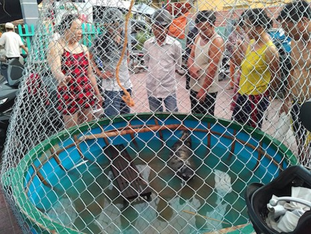 Quảng Nam: Ngư dân vây bắt hải cẩu dạt vào bờ biển - ảnh 1