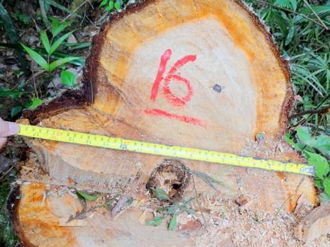 Ba đối tượng liên quan phá rừng pơ mu ở Quảng Nam đã đầu thú  - ảnh 1
