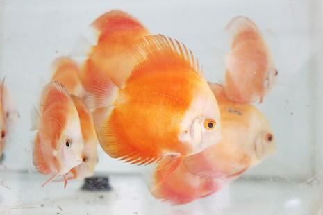 Nông dân Củ Chi nuôi cá dĩa: Nuôi chơi, lời hàng chục triệu đồng - ảnh 8