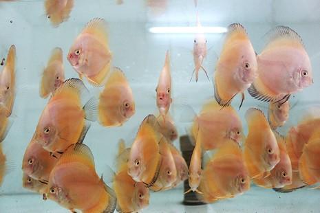 Nông dân Củ Chi nuôi cá dĩa: Nuôi chơi, lời hàng chục triệu đồng - ảnh 1