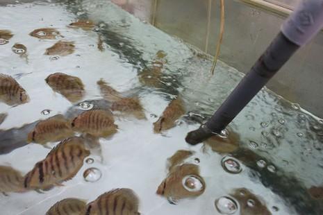 Nông dân Củ Chi nuôi cá dĩa: Nuôi chơi, lời hàng chục triệu đồng - ảnh 11