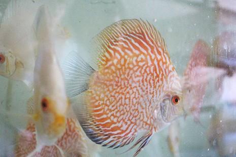 Nông dân Củ Chi nuôi cá dĩa: Nuôi chơi, lời hàng chục triệu đồng - ảnh 12