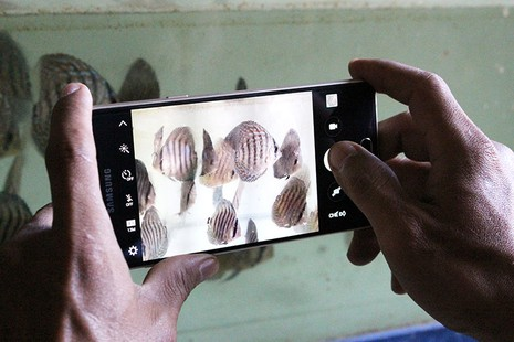 Nông dân Củ Chi nuôi cá dĩa: Nuôi chơi, lời hàng chục triệu đồng - ảnh 13
