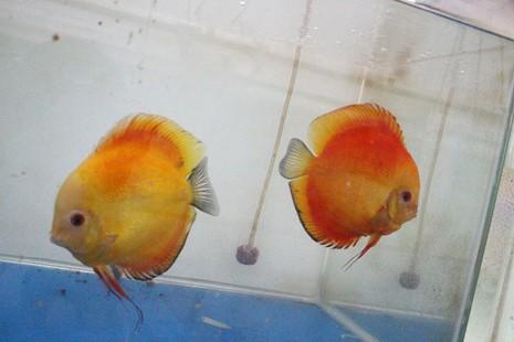 Nông dân Củ Chi nuôi cá dĩa: Nuôi chơi, lời hàng chục triệu đồng - ảnh 9