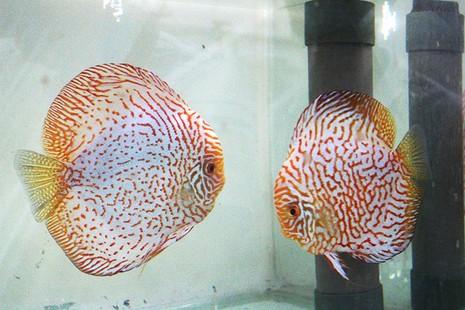 Nông dân Củ Chi nuôi cá dĩa: Nuôi chơi, lời hàng chục triệu đồng - ảnh 4