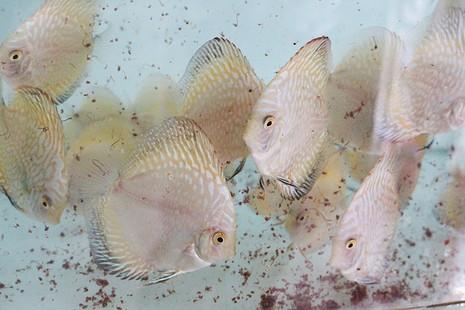 Nông dân Củ Chi nuôi cá dĩa: Nuôi chơi, lời hàng chục triệu đồng - ảnh 14