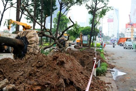 Chùm ảnh: Bứng dưỡng và đốn hạ 75 cây xanh làm metro - ảnh 1