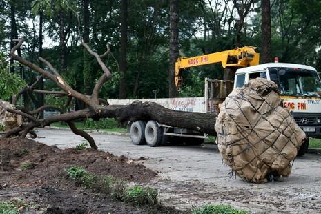 Chùm ảnh: Bứng dưỡng và đốn hạ 75 cây xanh làm metro - ảnh 3