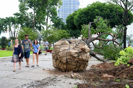 Chùm ảnh: Bứng dưỡng và đốn hạ 75 cây xanh làm metro - ảnh 8