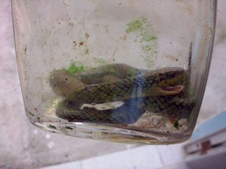 Hi hữu: Cậu bé 17 tháng tuổi cắn chết một con rắn cực độc - ảnh 1