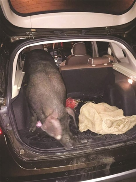 Trung Quốc: Thưởng tết cho nhân viên bằng lợn sống  - ảnh 1