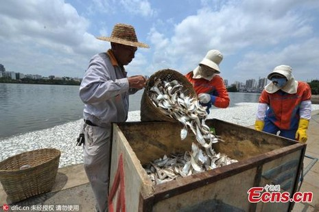 20 tấn cá chết trắng hồ ở Hải Nam, Trung Quốc - ảnh 5