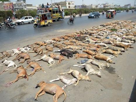 Hơn 1.000 con chó hoang bị đánh thuốc độc ở Pakistan