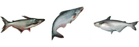 'Hô biến' cá này thành cá kia coi chừng bị phạt - ảnh 2