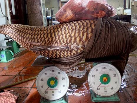 Cá hô thuộc họ cá chép, rất hiền, những con có trọng lượng từ 100kg trở lên đã có thể sinh sản và sống rất lâu