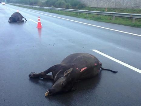 Hai con trâu được phát hiện bị tông chết nằm trên cao tốc TP.HCM - Long Thành sáng ngày 20-9.
