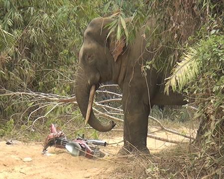 Cận cảnh voi ngà lệch phá hoại tài sản người dân - ảnh 2