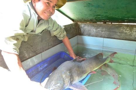 """Ngư dân bắt được cá lăng """"khủng"""" trên sông Sêrêpốk - ảnh 1"""