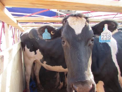 Vinamilk nhập thêm 400 con bò từ Úc - ảnh 1