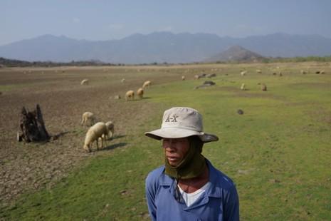 Anh Bạch Thanh Luông thả bầy cừu trên vùng cỏ được mọc lên từ... đáy hồ Suối Lớn - Ảnh: Thuận Thắng