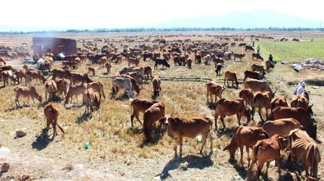 Hàng ngàn gia súc đang đổ dồn về vùng đồng bằng, chen nhau nhai từng gốc rạ - Ảnh: V.Sự