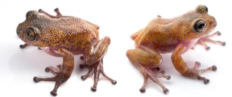 Phát hiện ếch gai, bọ que và 70 loài mới tại Việt Nam - ảnh 2