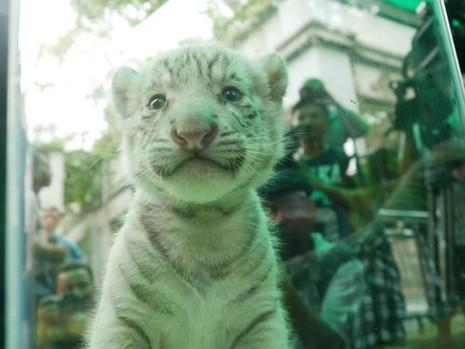 Thảo Cầm viên làm tiệc đầy tháng chào mừng 3 chú hổ trắng con - ảnh 2