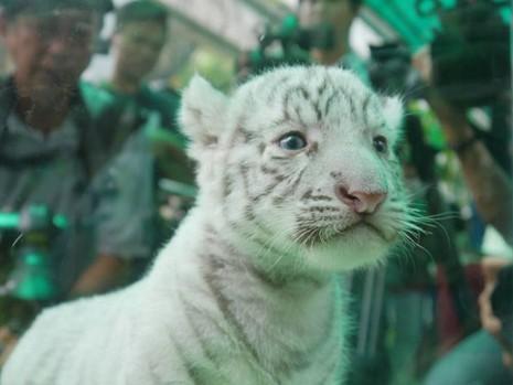 Thảo Cầm viên làm tiệc đầy tháng chào mừng 3 chú hổ trắng con - ảnh 4